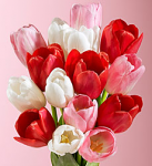 Tulips for Valentine`s Day